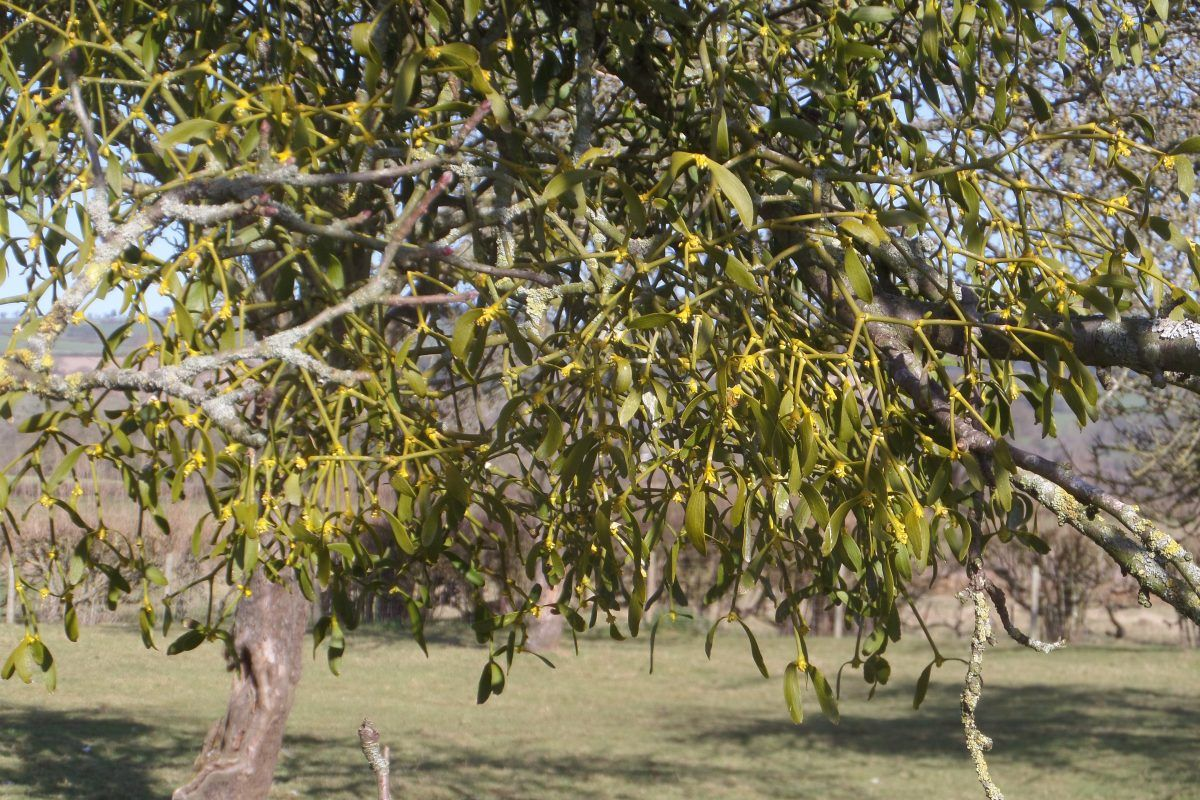 Mistletoe is everywhere! This is in the orchard at Bilbury Farm and is low enough to get close to.