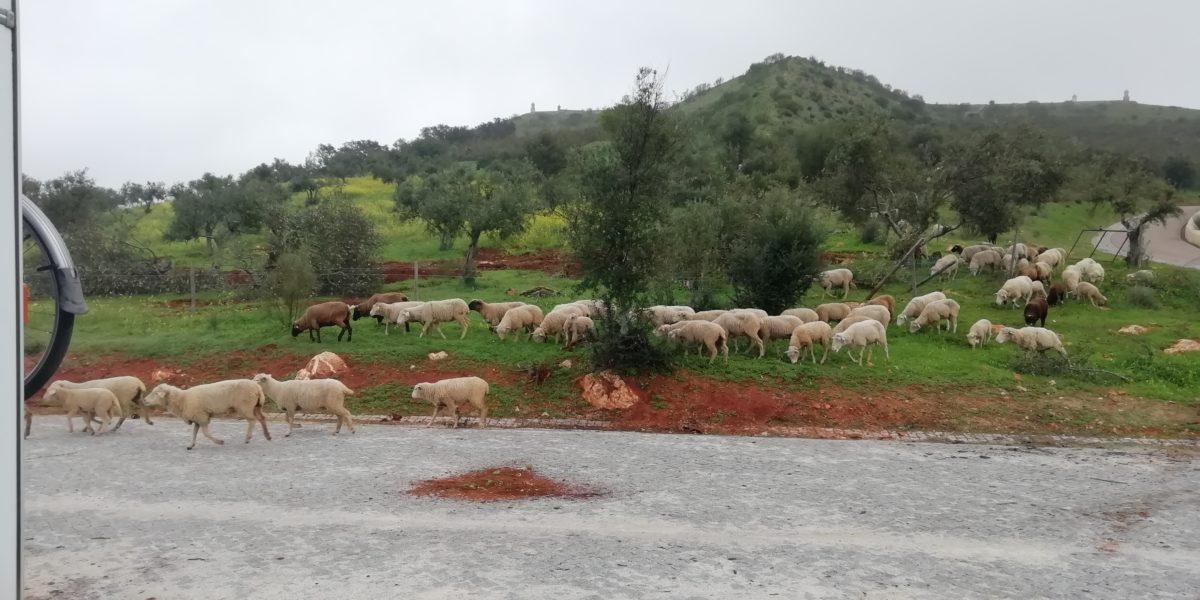 Grazing sheep behind Bertie - some with bells